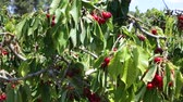 cachos : Ripe sweet cherries hanging on tree branches in green foliage of fruit garden