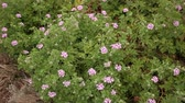 花序 : Grassy plant violet Geranium meadow at park outdoor 動画素材