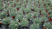 florescence : Blooming bushes of Dimorphotheca ecklonis (Osteospermum) cultivated in pots in hothouse
