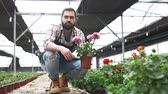 герань : Man  horticulturist during gardening with geranium in pots in hothouse