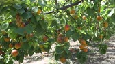plant fertilizer : Ripe apricots on trees at fruit plantation Stock Footage
