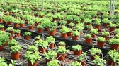 горшках : Rows of pots with fragrant organic mint seedlings growing in glasshouse Стоковые видеозаписи