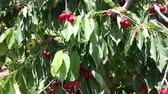 plant fertilizer : Close up of ripe cherries on trees on sunny day
