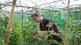 absperrband : Female owner of greenhouse engaged in cultivation of organic tomatoes, making supports for growing plants