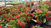 virágárus : Portrait of successful woman farmer working in greenhouse, checking blooming begonias in pots