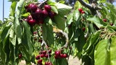 kertészet : Ripe sweet cherries hanging on tree branches in green foliage of fruit garden
