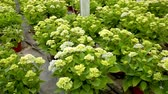 горшках : Hydrangea or hortensia. Field of potted green bushes with colored flowers in hothouse