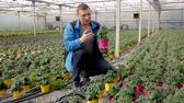 熟練した : Young male horticulturist planting tomatoes  seedling in pots in greenhouse