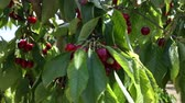 plant fertilizer : Ripe red cherries on trees at fruit plantation