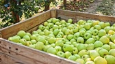 木箱 : Freshly harvested green apples in big wooden crate in orchard 動画素材