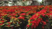 bethléem : Poinsettia. Red plantation of Christmas star flowers cultivated in greenhouse Vidéos Libres De Droits