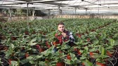 Man controlling quality of Spathiphyllum plants in glasshouse farm