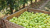 木箱 : Harvest season. Big wooden box full of  freshly picked apples standing in fruit garden