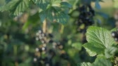 groselhas : Close up on a black currant
