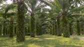 processado : Symmetrical rows of palm trees used in the manufacturing of palm oil for human consumption used in many processed foods in 4k