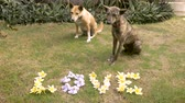 amante : Two cute medium sized dogs sit next to yellow and blue flowers that spell out love on the lawn Stock Footage