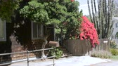 classic : Establishing of a 1920s Los Angeles home with a large red bougainvillea, wooden shingles and a empty driveway to park a car in the day - dolly shot Stock Footage