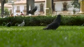kovalamak : Pigeons fly off the green grass in slow motion as a young child runs by in a city park, low angle