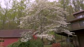 establishing shot : Push in of white dogwood blossoms and azalea flowers in front of a barn and log cabin in the woods