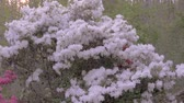stolarz : Slow motion push in to a white azalea flowering plant with bees pollinating the flowers with lens flare and a setting sun against a forest background Wideo