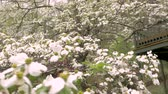 alergia : A large white dogwood tree in full bloom in a front yard of a log home with a red barn