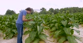 клещи : Farmer carefully looking at his cash crop tobacco plants