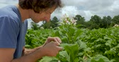 клещи : Man closely looking at the leaves of tobacco plants for parasites or bugs Стоковые видеозаписи