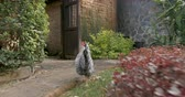 fowl : Free range barred rock rooster walking through a garden joining two other chickens - stabilized shot