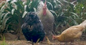 çeşitlilik : A rooster stands guard as two free range egg laying chickens eat and peck feed off the ground Stok Video