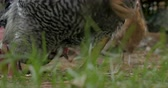 kırsal bölge : Close up of two free range organic egg laying chickens and a rooster eating feed from the grass - ground level Stok Video