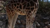afrika : an african giraffe in the wild