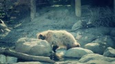 kürk : slow motion of grizzly bears walking