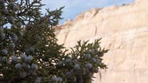 ягода : Berries on a juniper tree in the desert of Southern Utah in the spring. Стоковые видеозаписи