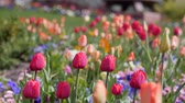 springtime : Beautiful tulip gardens in the spring Stock Footage