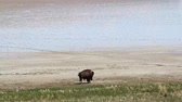 korumalı : Buffalo In a desert environment searching for water
