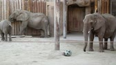 marfim : A Family of African Elephants at the Zoo