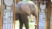 dveře : An African elephant stands in the doorway at a safari camp.