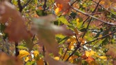 oak : fall colors and sunlight Stock Footage