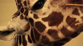 żyrafa : Closeup of Giraffe Head