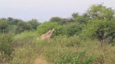 vecht : Giraffe in Field Stockvideo