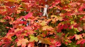 sauce : Gorgeous Red Leaves Plano de plataforma rodante Archivo de Video