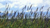 alergia : Grass blowing in wind
