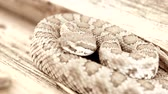 snake skin : Great Basin Ratelslang resting opgerold op log