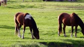 mare : Horses graze in the morning