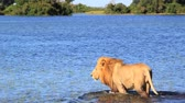 chat : Lion à long clip de l'eau douce