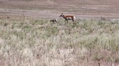 antilop : Mother and Baby Antelope Running
