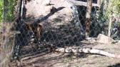 olhar : siberian tiger in zoo