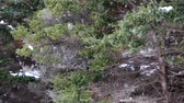 ladin : snow storm and pine tree forest Stok Video