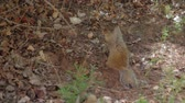 kürk : squirrel eating acorns Stok Video