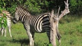 humor : Zebra scratching against a tree Stock Footage